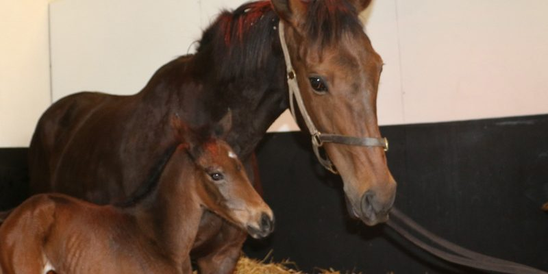 Quevega has foaled and its a girl!