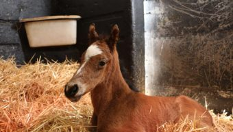 The Foaling Mare