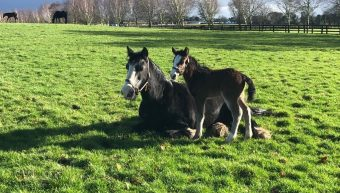 The Irish National Stud Foster Mares